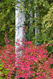 Aspen Tree Trunks Surrounded by Autumn Color  Alaska  USA