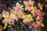 Thompson Pass  Autumn Color  Bunchberry Flora  Alaska  USA