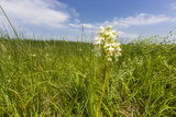 Rare Western Prairie Fringed Orchid  Sheyenne National Grasslands  North Dakota  USA