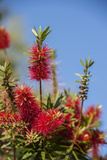 Bottlebrush Tree  New Smyrna Beach  Hibiscus Flower