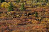Moose Wildlife in Autumn Tundra  Denali National Park  Alaska  USA