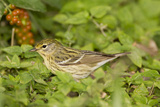 Blackpol Warbler Bird  Female Foraging for Insects in Fiddlewood Bush  Texas Coast  USA