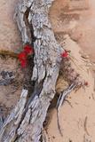 Desert Indian Paintbrush Flowers  Weathered Log in Zion National Park  Utah  USA