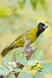 Crimson-Collared Grosbeak Bird  Female Feeding on Potato Tree Fruit in Texas  USA