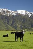 Cows  Kaikoura  Seaward Kaikoura Ranges  Marlborough  South Island  New Zealand