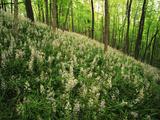 Raven Run Nature Sanctuary  Hillside of Wild Hyacinth  Lexington  Kentucky  USA