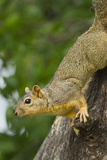 Eastern Fox Squirrel Wildlife on Tree Trunk