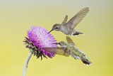 Black-Chinned Hummingbird Females Feeding at Flowers  Texas  USA