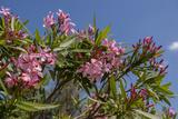 Oleander  New Smyrna Beach  Florida  USA