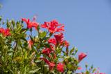 Hibiscus Flower  New Smyrna Beach  Hibiscus Flower