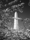 Monument with Cherry Blossom in Foreground  Washington DC  USA