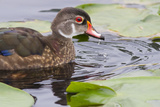 Wood Duck Male  Non Breeding Plumage  Juanita Bay Wetland  Washington  USA