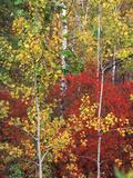 Autumn Trees  Custer State Park  South Dakota  USA