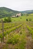 Vineyards  Sant' Antimo Abbey  Spring  Tuscany  Italy