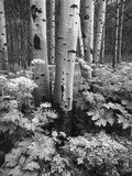 Aspen Trees and Cow Parsnip in White River National Forest  Colorado  USA