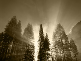 Sunlight Through Pine Forest in Yosemite Valley  Yosemite National Park  California  USA