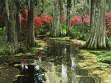 View of Azaleas and Cypresses Magnolia Plantation  Charleston  South Carolina  USA