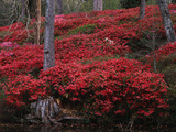 Middleton Place  Azaleas Shrubs in Forest  Charleston  South Carolina  USA