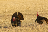 Male Tom Turkeys in Breeding Plumage  Farm  Flathead Valley  Montana  USA