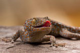 Close-Up of Tokay Gecko Lizard on Rock  North Carolina  USA