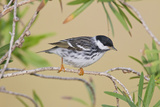 Blackpol Warbler Bird  Male Foraging for Insects  Texas Coast  USA