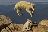 Mountain Goats  Mount Evans  Colorado  USA