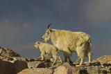 Mountain Goats  Mount Evans  Colorado  USA