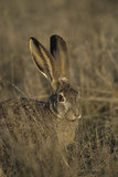 Black-Tailed Jackrabbit Wildlife  USA