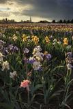 Iris Production Field at Sunset  Schreiner's Iris Gardens  Keizer  Oregon  USA