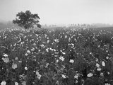 Field of Cosmos Flower  Union  Kentucky  USA