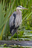 Great Blue Heron Bird  Juanita Bay Wetland  Washington  USA