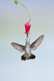 Black-Chinned Hummingbird Females Feeding at Flowers  Texas  USA