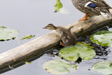 Mallard Duck  Duckling Wildlife  Juanita Bay Wetland  Washington  USA