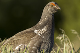 Male Blue Grouse Bird at the National Bison Range Near Moiese  Montana  USA