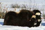 Musk Ox Bull Wildlife  Arctic National Wildlife Refuge  Alaska  USA