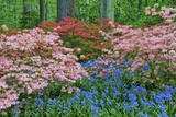 Blooming Azaleas and Bluebell Flowers  Winterthur Gardens  Delaware  USA