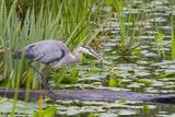 Great Blue Heron Bird  Juanita Bay Wetland  Washington  USA