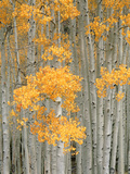 Aspen Grove  Fish Lake Plateau Near Fish Lake National Forest  Utah  USA