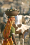 Collecting Camel Dung for Cooking Fires  Pushkar Camel Festival  Rajasthan  India