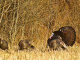 Male Tom Turkey with Hens  Farm in the Flathead Valley  Montana  USA