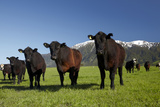 Cows  Kaikoura  Seaward Kaikoura Ranges  Marlborough  South Island  New Zealand
