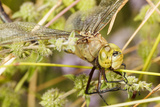 Batteres Male Common Green Darner Insect  Freeway Ponds Park  Albany  Oregon  USA