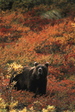 Grizzly Bear  Denali National Park and Preserve  Alaska  USA