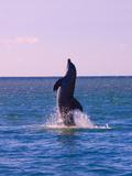 Dolphin Leaping from Sea  Roatan Island  Honduras