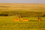 Whitetail Deer Wildlife in Wheat Field Near Glasgow  Montana  USA