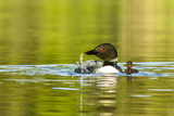 Female Common Loon Bird with Newborn Chick on Beaver Lake  Whitefish  Montana  USA