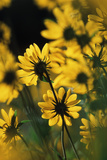 Sierra Madre Medicine Bow National Forest  Yellow Sunflowers  Wyoming  USA