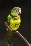 Tropical Bird  Parrot  Honduras