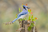 Blue Jay Bird  Adults on Log with Acorns  Autumn  Texas  USA