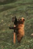 Grizzly Bear Cub Scratching Sign  Denali National Park and Preserve  Alaska  USA